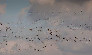 Update vogelgriep 02/01 – beperkingsgebieden Biddinghuizen opgeheven
