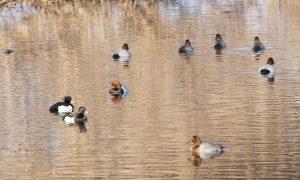 Update vogelgriep 15/11: Verbod op jacht op wilde watervogels blijft van kracht