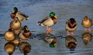 Update vogelgriep 09/12: Ministerie van Economische Zaken schrapt jachtverbod