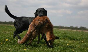 Onderzoek RIVM in Groningen en Drenthe: geringe verspreiding van vossenlintworm in Oost-Groningen