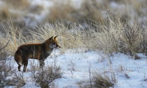 Jagersvereniging start pilot onderzoek infectieziekten vossen