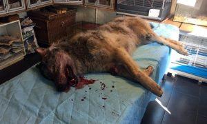 Persbericht provincie Drenthe: gevonden dier langs A28 was wilde wolf