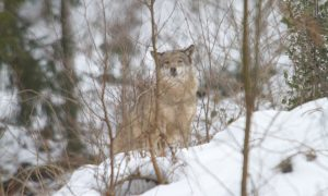 LTO wil teveel aan wolven in Nederland afschieten – NOS Nieuwsuur