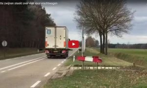 Rotte zwijnen steekt over vlak voor vrachtwagen