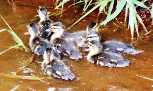 Oproep leden Jagersvereniging: meld kuikens wilde eend