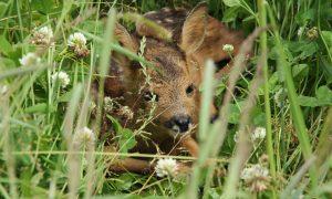 Jagers redden Bambi met behulp van drones – Hart van Nederland 27 mei 2017