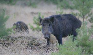 Update Afrikaanse varkenspest 19/10 – Regeling beperkte bewegingsjacht vastgesteld