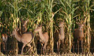 Boeren willen betere vergoeding voor schade door wild – Omroep Gelderland