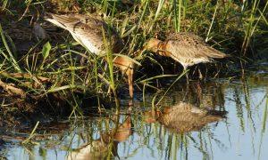 Maatwerk moet weidevogel redden –  Nieuwe Oogst