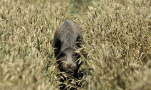 Gedeputeerde Staten Limburg geven opnieuw meer bevoegdheden aan jagers voor beheer wilde zwijnen