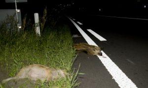 Meer verkeersongelukken met reeën en wilde zwijnen – L1 Limburg