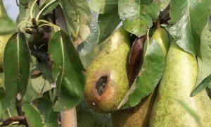 'Lokmiddelen zijn nodig bij bestrijding wildschade' – Opinieartikel Laurens Hoedemaker in Boerderij