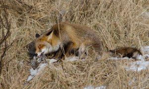 Het blijft schipperen met de vos – Reformatorisch Dagblad