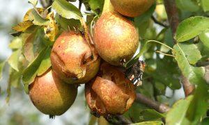 Nederlandse Fruittelers Organisatie: Meer kraaienschade door tijdelijk verbod lokmiddelen