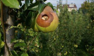 Verbod lokmiddelen voor kraaiachtigen komt voor fruittelers op slecht moment – Nederlandse Fruittelers Organisatie