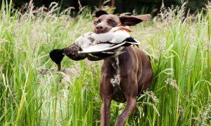 Jachthondenwedstrijd Nimrod 2018: dit jaar in Gelderland!