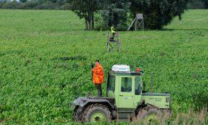 Bejaging wilde zwijnen tijdens maisoogst ook in Gelderland toegestaan