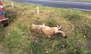 Dode wolf gevonden langs N343 bij Kloosterhaar – De Telegraaf