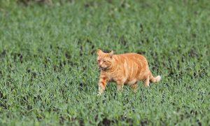 Stichting Zwerfkatten Nederland en Jagersvereniging werken samen: 'Geen zwerfkatten in het beschermde buitengebied'
