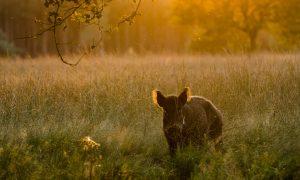 Informatie over Afrikaanse varkenspestbesmetting bij wilde zwijnen in België