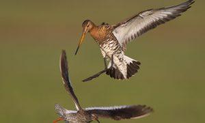 Serieuze aandacht voor de predatie van weidevogels tijdens overleg Tweede Kamer
