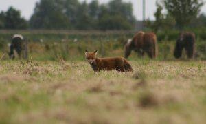 Red de grutto's, dood de vossen? – Volkskrant