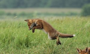 Natuurorganisaties willen meer jagen op de vos – Noordhollands Dagblad