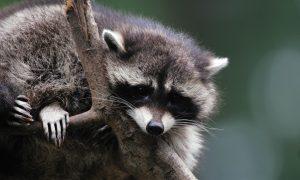 EU verplicht lidstaten om wasberen te bestrijden – AD