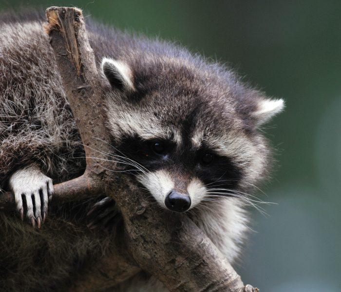 Wasberen afschieten of juist niet? 'Ze zijn een gevaar voor de natuur' – Omroep Brabant