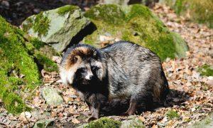 Zeldzame wasbeerhond doodgereden – NOS