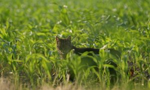 LNV-minister Schouten beantwoordt Kamervragen PvdD over verwilderde katten