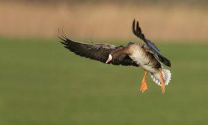 Elektronische lokmiddelen voor ganzen rond Schiphol weer toegestaan
