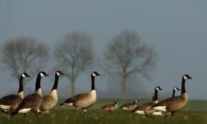 Provincie wijzigt ganzenbeleid en vergoedt voortaan minder aan landbouwschade – NH Nieuws