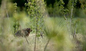 The Next CAP: Armageddon for hares, pheasants & Co.?