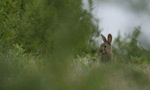 Kamermeerderheid wil jaagverbod konijnen en hazen, volgens minister Schouten hoeft dat niet – Trouw