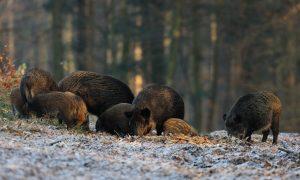 Themabijeenkomst Wilde Zwijnen van Jagersvereniging Noord-Brabant groot succes
