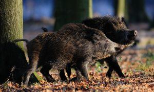 Varkenspest dreigt: jagers willen meer wilde zwijnen afschieten – EenVandaag