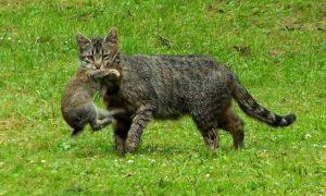 Komt uw kat buiten? Dan overtreedt hij Europese regels – Trouw