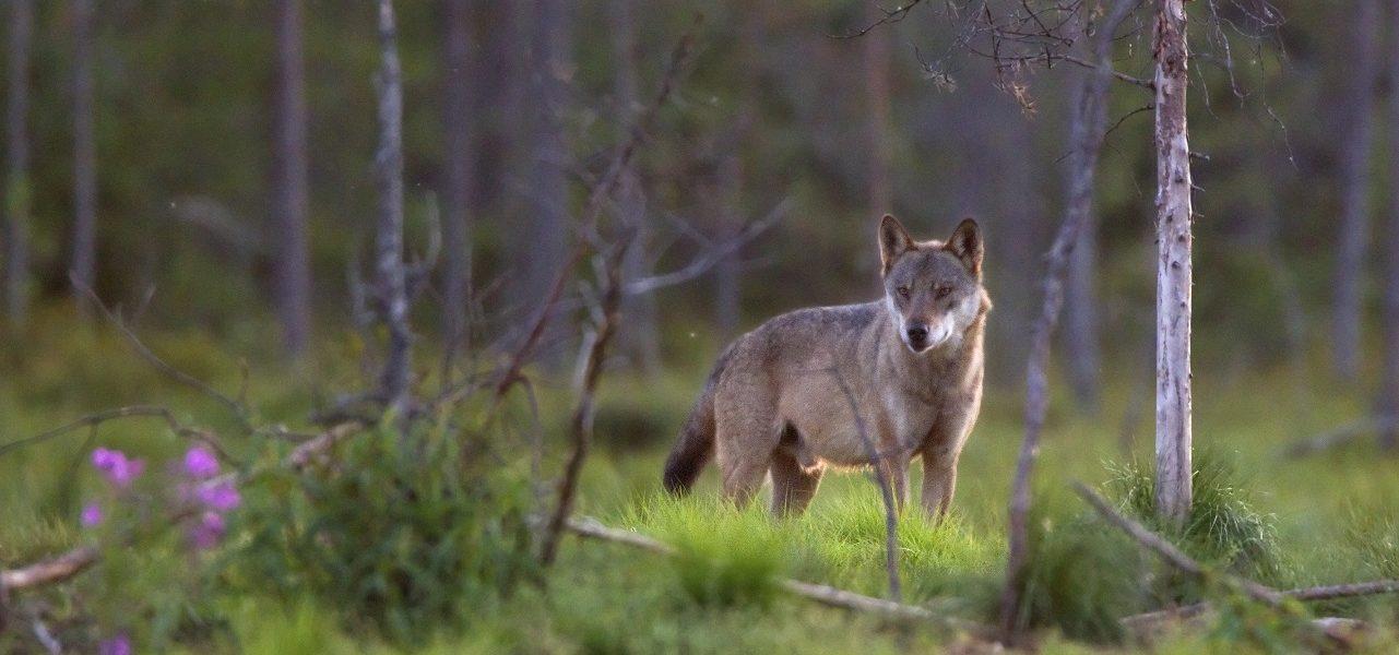 Dode wolf in Stroe blijkt na onderzoek doodgeschoten: strafrechtelijk onderzoek loopt