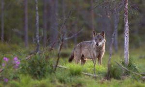 Gelderland stelt leefgebied Veluwse wolven vast – Provincie Gelderland