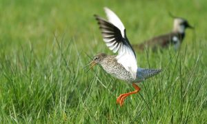Weidevogels beleven een rampzalig seizoen – Leeuwarder Courant
