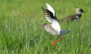 Historisch slecht broedseizoen voor weidevogels – Friesch Dagblad