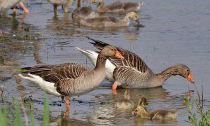 Persbericht – Nederland negeert internationale richtlijnen voor bejaging ganzen