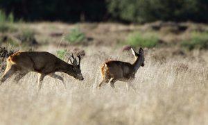 Jagers willen zeven soorten erbij op wildlijst -Telegraaf