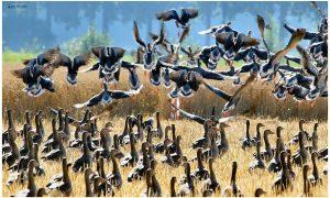 Er zijn veel te veel ganzen in Gelderland; miljoenenschade en poep tussen de tenen – De Stentor