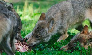 Twentse ondernemer schoot wolf dood: 'Kon niet anders' – Telegraaf