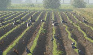 Boeren in Flevoland ontvangen behandelbedrag wildschade retour