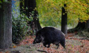 Afrikaanse varkenpest op Bulgaars bedrijf met 40.000 dieren – Nieuwe Oogst