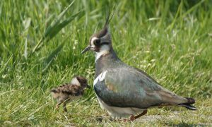 100.000 euro extra voor weidevogelbeheer in Friesland –  Provincie Friesland