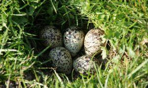 Oproep voor grote Friese weidevogelgebieden – Nieuwe Oogst